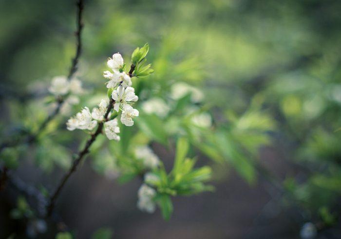 la saison des fleurs de prunier en janvier, en février à Son La