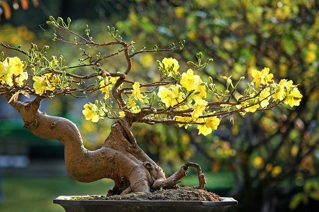 fleur typique au Vietnam pendant le nouvel an