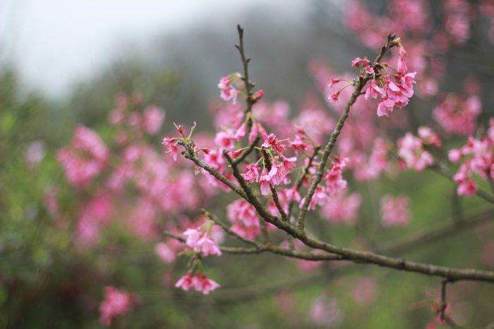 fleur de pecher en janvier à Hanoi