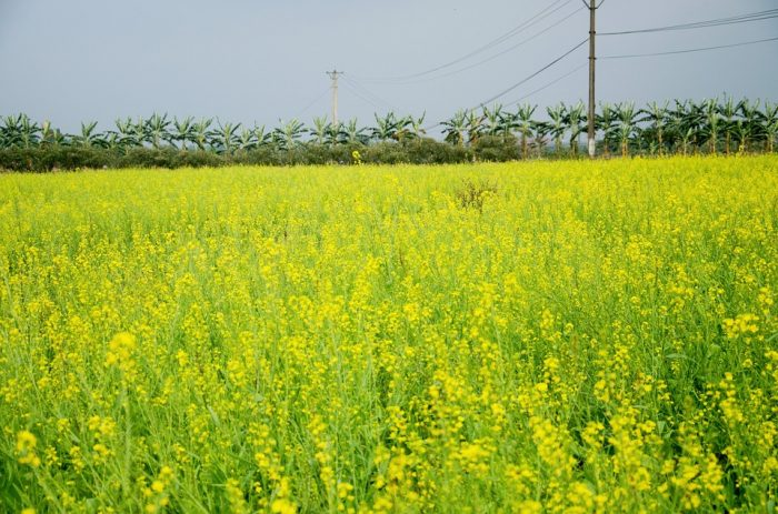moutard en décembre à Hanoi
