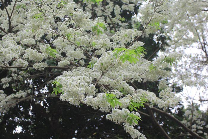 Fleur de Ban (fleur de Bauhinia)
