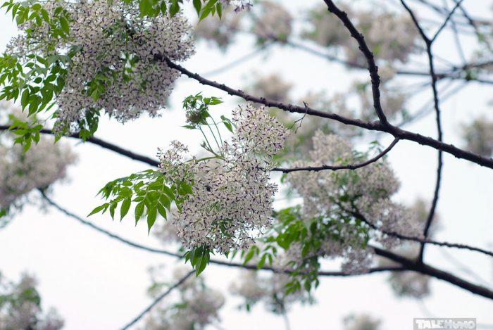 fleur de Xoan à Hanoi